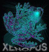 Xenopus